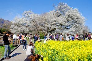 満開時期の一心行の大桜