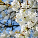 日中・満開の一心行の大桜[南阿蘇村]