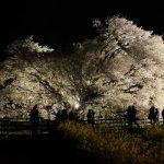 夜間ライトアップ・満開の一心行の大桜[南阿蘇村]