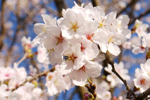 一心行の大桜[阿蘇市 桜 名所・花見情報]
