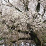 撮影:2017年4月9日[一心行の大桜・南阿蘇村]