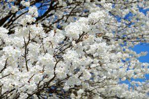 桜の花で埋まる一心行の大桜[南阿蘇村]