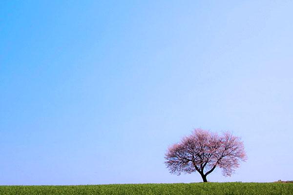 前原の一本桜[阿蘇 小国町 桜 名所・花見情報]