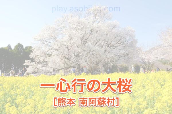 一心行の大桜 イベント・アクセス[南阿蘇村 桜の名所]