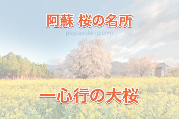 一心行の大桜 開花情報[南阿蘇村 桜の名所]